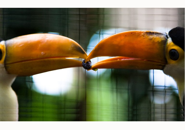 two toucans sharing a seed in their beaks